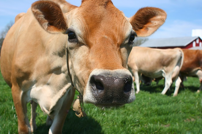 jersey cows - terroir and cheese